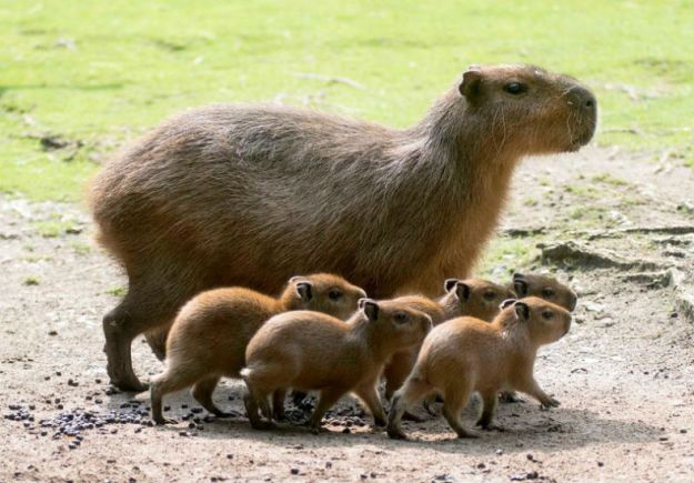 Z Capybara south america cuccioli-zoo-1
