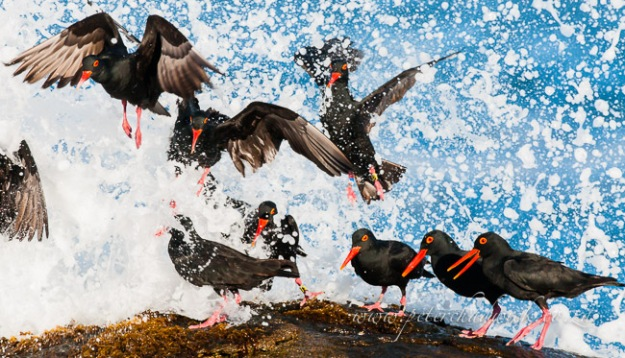 11_African-black-oystercatchers-taking-off-by-wildlife-and-conservation-photographer-Peter-Chadwick