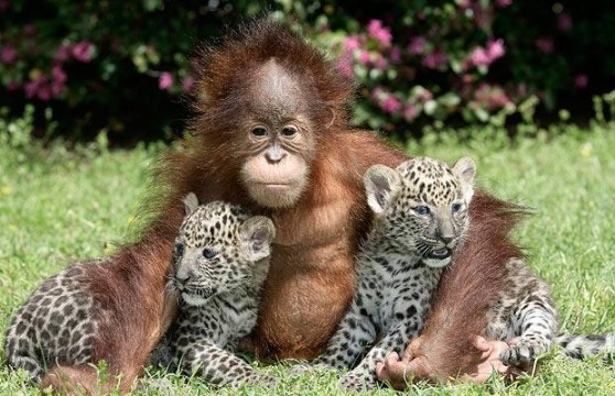 baby-orangutan-and-baby-leopards