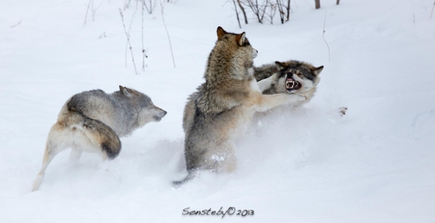 These wolves I met up close a little bit later...