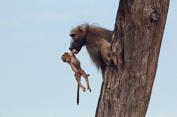 Baboon-Baby_DPP07DD011B151305-600x399