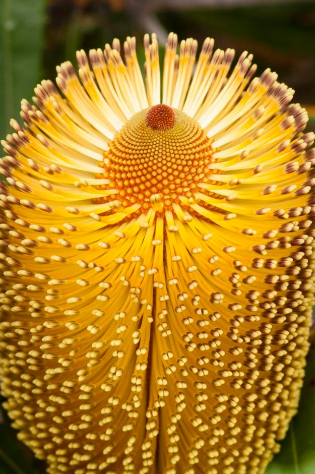 Burdett's Banksia
