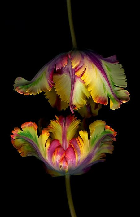 Yellow and Red Fringed Parrot Tulips on Black