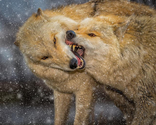 wcth_wolves-4