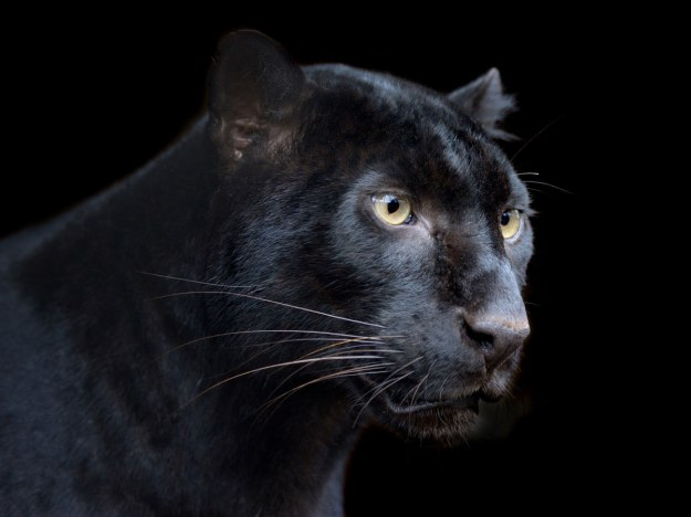 black-panther-symbolism-black-panther-spirit-animal