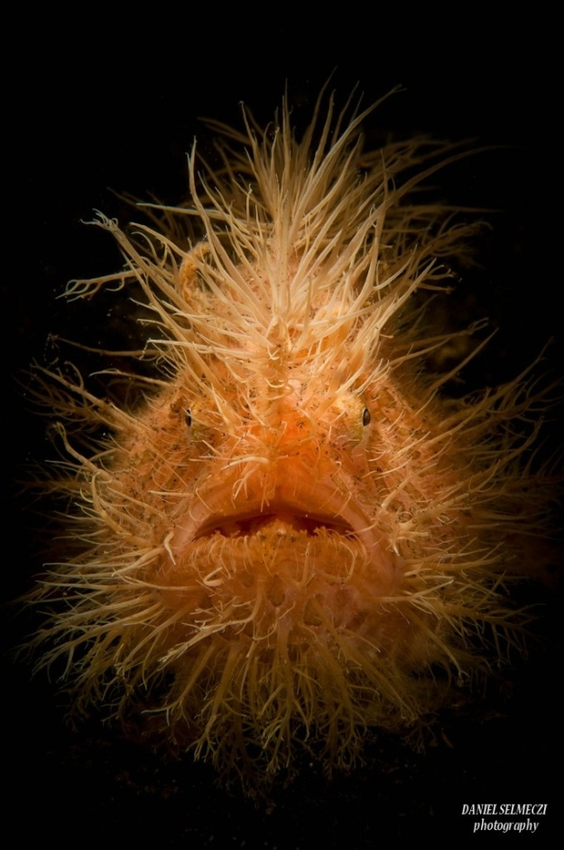 A Hairy frogfish, LEMBEH INDONESIAAntennarius striatus